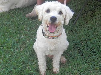 Standard Poodle Dog for adoption in Clarksville, Tennessee - Leo