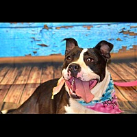 Pit Bull Terrier Mix Dog for adoption in Albemarle, North Carolina - Percy