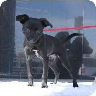 Chihuahua Mix Dog for adoption in Denver, Colorado - Jesse