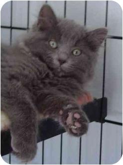Domestic Mediumhair Cat for adoption in Modesto, California - Serafina