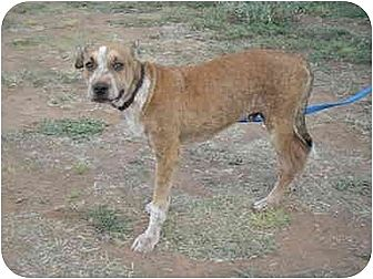 American Pit Bull Terrier Mix Puppy for adoption in Anton, Texas - Scout