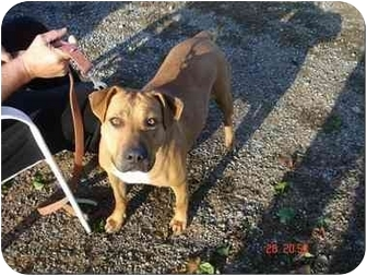 Boxer/Pit Bull Terrier Mix Dog for adoption in Foster, Rhode Island - Sugar