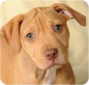 American Pit Bull Terrier Puppy for adoption in Chicago, Illinois - Carmella
