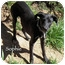 Photo 3 - Labrador Retriever/Whippet Mix Puppy for adoption in Mandeville Canyon, California - Sophie