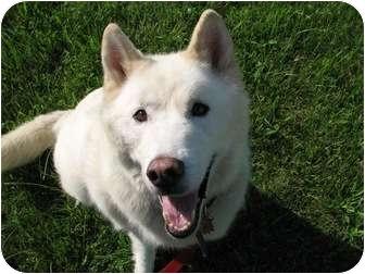 Siberian Husky Mix Dog for adoption in Horsham, Pennsylvania - Bear