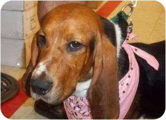Basset Hound Mix Dog for adoption in Livonia, Michigan - Sally - Adoption Pending