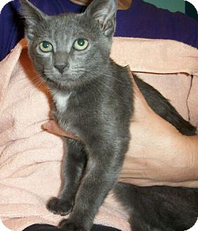 Domestic Shorthair Kitten for adoption in Reston, Virginia - Tara