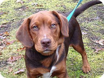 Basset Hound/Beagle Mix Puppy for adoption in Sagaponack, New York - Rufus