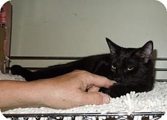 Bombay Cat for adoption in Mission Viejo, California - Hook