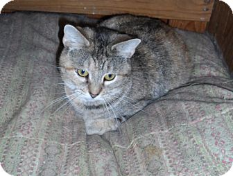 American Shorthair Cat for adoption in Cincinnati, Ohio - Mona: Covedale