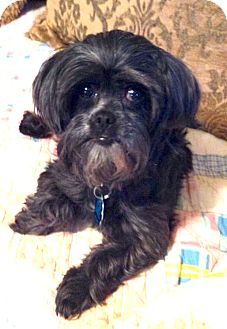 Toy Poodle/Maltese Mix Dog for adoption in Westport, Connecticut - *Pixie - PENDING
