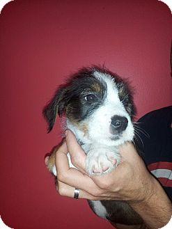 Border Collie/Labrador Retriever Mix Puppy for adoption in Coral Springs, Florida - Thor
