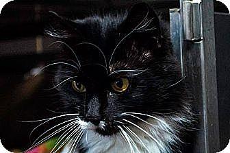 Domestic Longhair Cat for adoption in Plattekill, New York - Baby