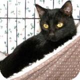 Domestic Shorthair Cat for adoption in Fallbrook, California - Eli