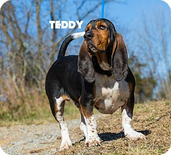 Basset Hound Dog for adoption in MARION, Virginia - Teddy
