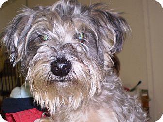 Schnauzer (Miniature)/Yorkie, Yorkshire Terrier Mix Dog for adoption in Sylva, North Carolina - Molly