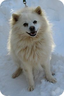 American Eskimo Dog Dog for adoption in Foster, Rhode Island - Cotton