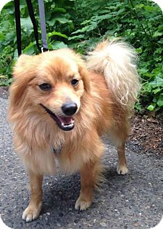 Pekingese/Spaniel (Unknown Type) Mix Dog for adoption in Portland, Oregon - Sir Scout