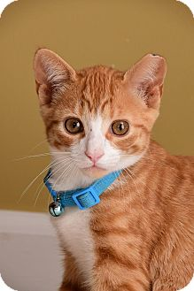 Domestic Shorthair Kitten for adoption in Monroe, North Carolina - Nick
