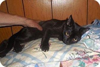 Domestic Shorthair Kitten for adoption in Toledo, Ohio - Gypsy
