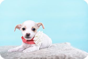 Rat Terrier Mix Puppy for adoption in Houston, Texas - Roxy