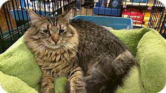 Maine Coon Cat for adoption in Smyrna, Georgia - Jagger
