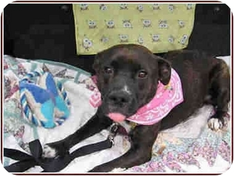 Terrier (Unknown Type, Medium)/Pit Bull Terrier Mix Dog for adoption in Kingwood, Texas - Pretty Betty