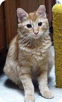 Domestic Mediumhair Cat for adoption in San Antonio, Texas - Juliana