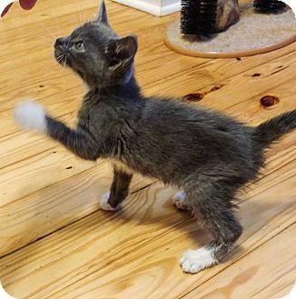 Domestic Shorthair Kitten for adoption in Coeburn, Virginia - Spencer