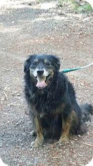 Australian Shepherd/Golden Retriever Mix Dog for adoption in Salem, Oregon - Zoe