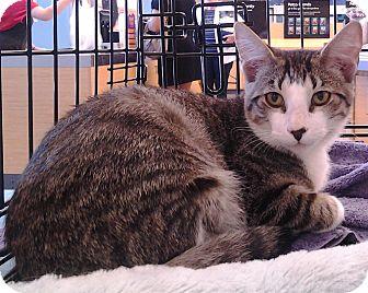 Domestic Shorthair Cat for adoption in Richmond, Virginia - Brontes
