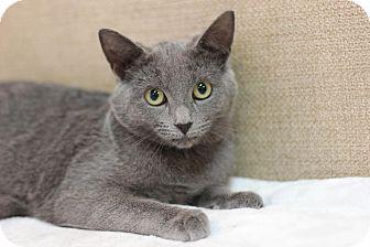 Domestic Shorthair Cat for adoption in Midland, Michigan - Holmes
