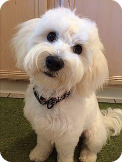 Poodle (Toy or Tea Cup)/Maltese Mix Dog for adoption in Denver, Colorado - Thunder *ADOPTION PENDING*