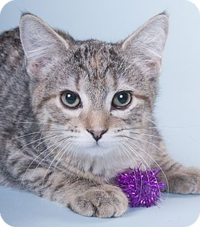 Domestic Shorthair Kitten for adoption in Chicago, Illinois - Firefly