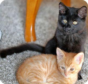 Maine Coon Kitten for adoption in Rocklin, California - Giblet & Baklava