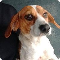 Adopt A Pet :: Arrow - Shelter Island, NY