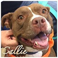 Adopt A Pet :: Callie - High Point, NC