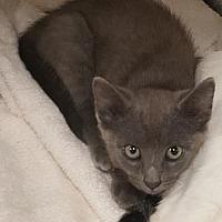 Adopt A Pet :: Meowly Cyrus - Americus, GA