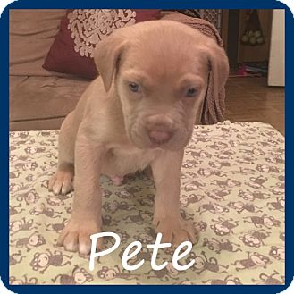 Weimaraner Mix Puppy for adoption in Sterling Heights, Michigan - Pete