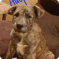 Adopt A Pet :: Klaus - Hesperia, CA