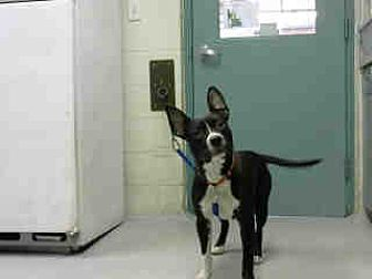 "Labrador Retriever Mix Dog for adoption in Wilmington, North Carolina - A362378 ""Unknown"""