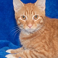 Adopt A Pet :: Mango - Elmwood Park, NJ