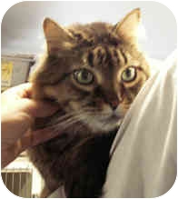 Maine Coon Cat for adoption in Milton, Massachusetts - Feeney