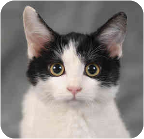 Domestic Shorthair Kitten for adoption in Chicago, Illinois - Cranberry