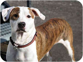 American Pit Bull Terrier/Boxer Mix Dog for adoption in Medicine Hat, Alberta - Tino