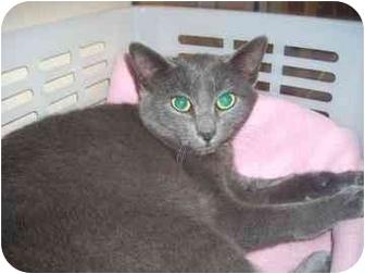 Domestic Shorthair Kitten for adoption in North Charleston, South Carolina - Ziggy
