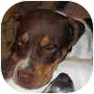 Pointer/English Bulldog Mix Puppy for adoption in Nanuet, New York - Gus