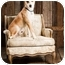Photo 3 - Labrador Retriever/Border Collie Mix Dog for adoption in Portland, Oregon - Coulee