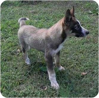 German Shepherd Dog/Husky Mix Puppy for adoption in Foster, Rhode Island - Disney