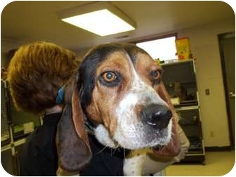 Basset Hound/Beagle Mix Dog for adoption in Lapeer, Michigan - Eloise